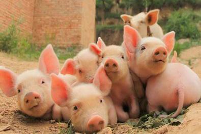 猪伪狂犬病的预防策略